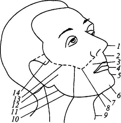 Схема строения лица:
